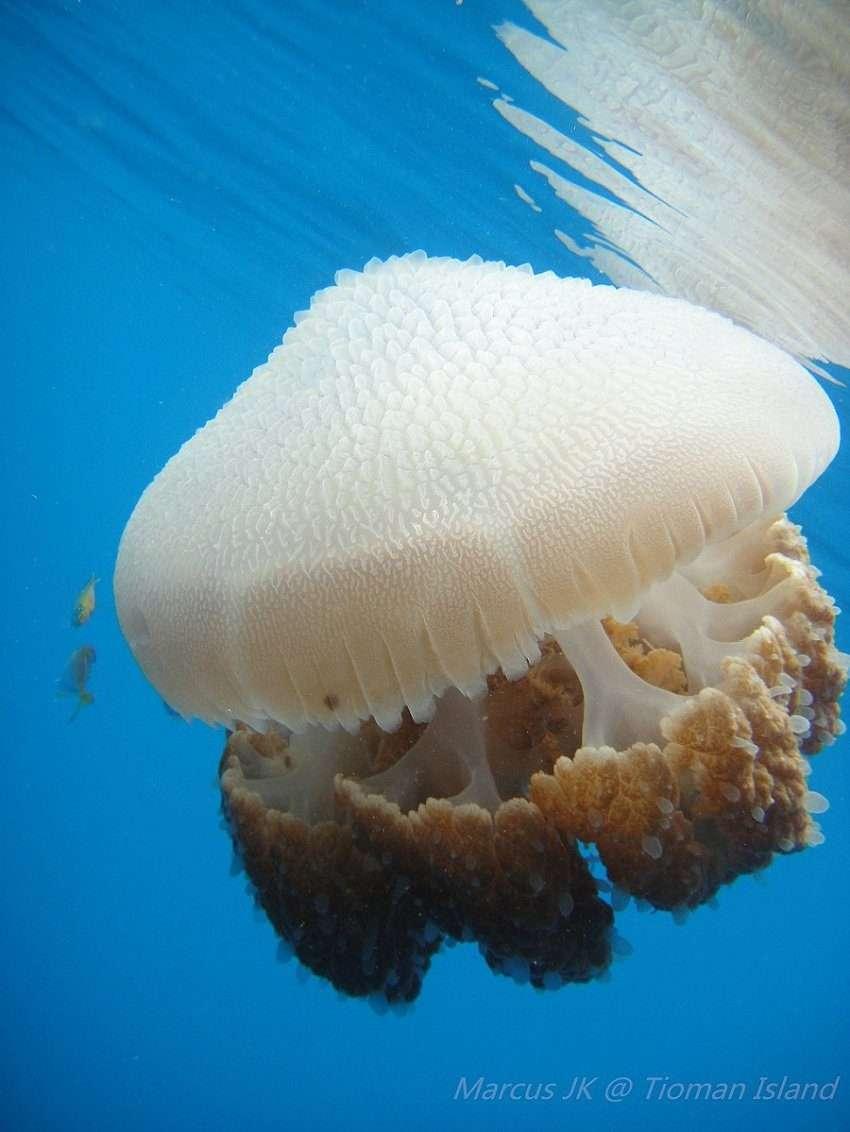 JellyFish_By_Marcus_Yee