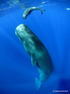 Sperm-Whales---Baby-&-Mother_by_Dufour_Jerome