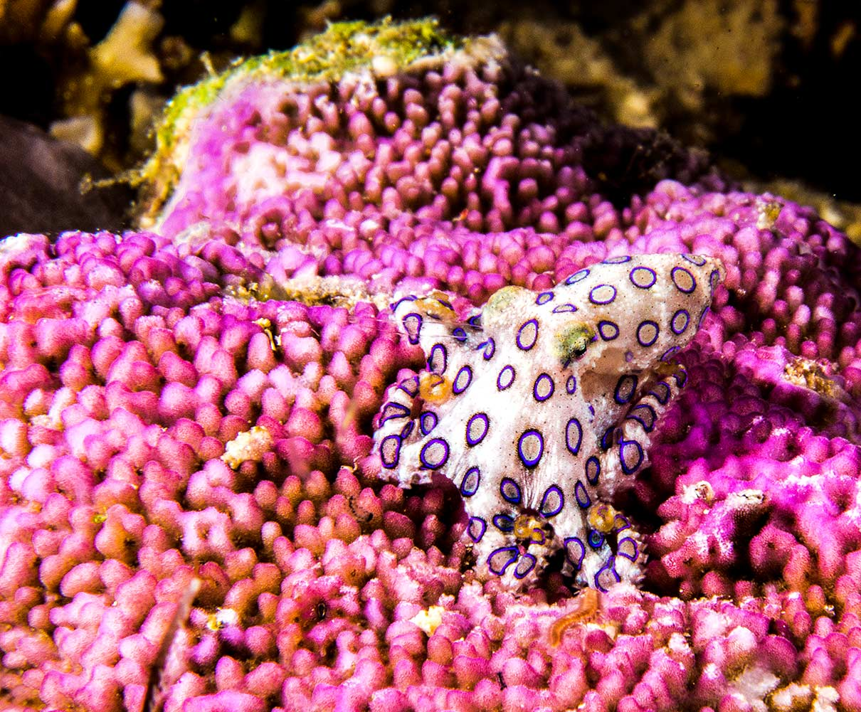 blue_ringed_octopus_by_stephane_eybalin