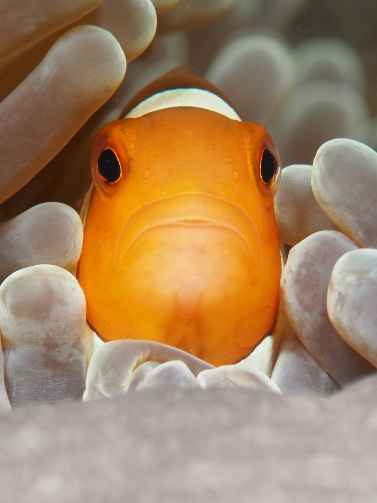 Clownfish by Bengkeat Chng