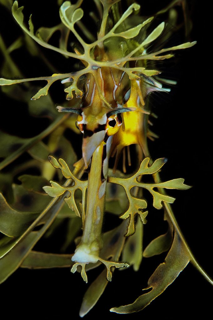 leafy seadragon by Paul Macdonald
