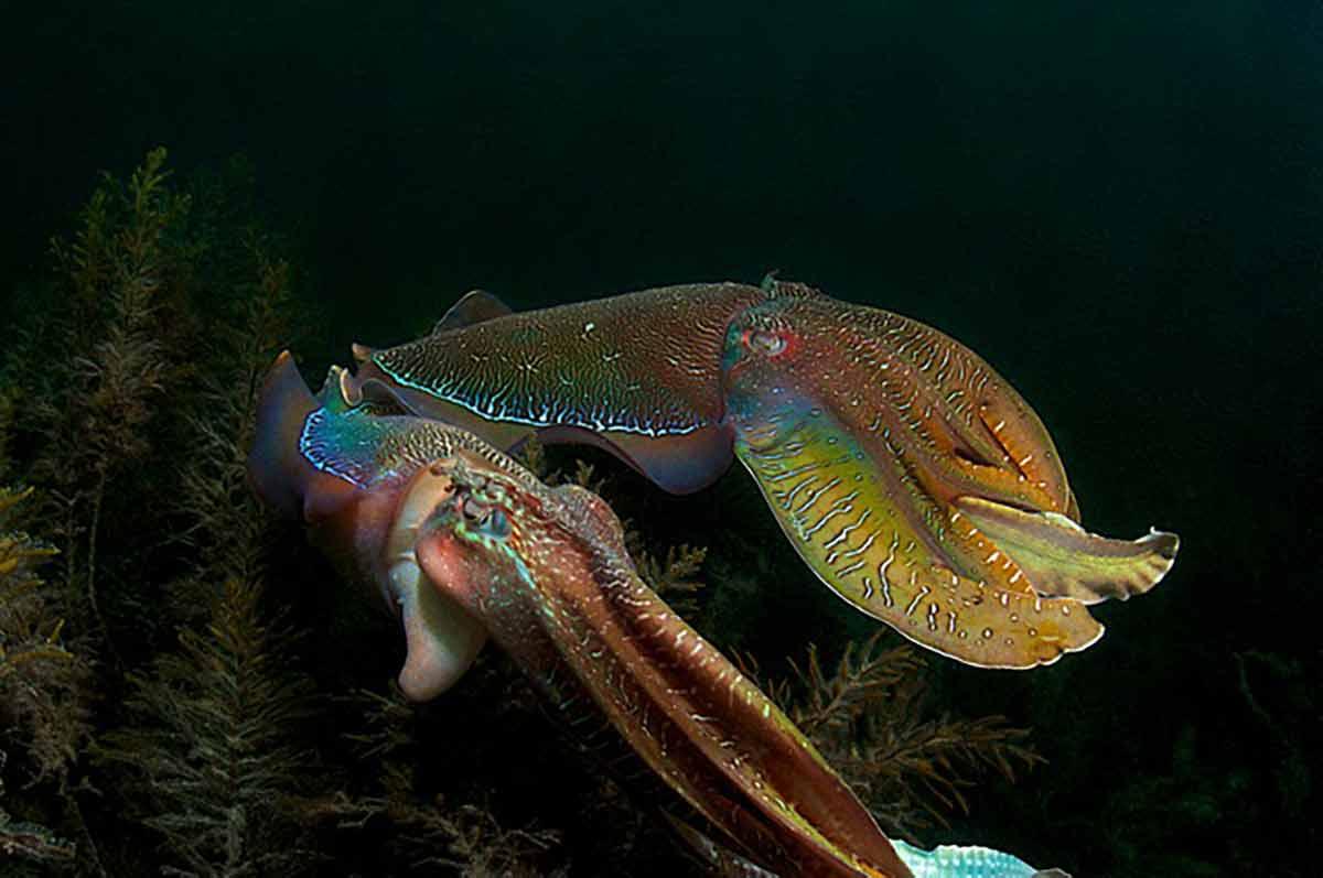 Cuttlefish Mating Season by Carlo Possagno