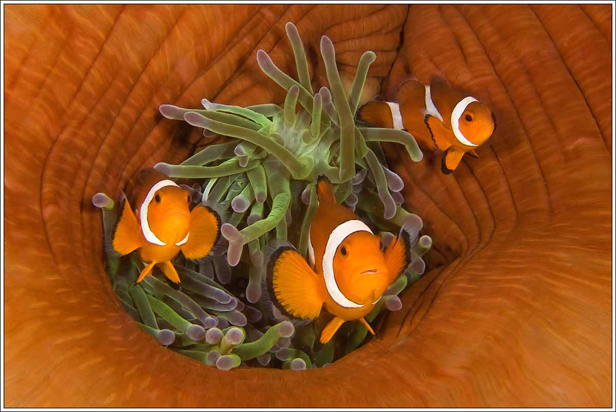 Three Clownfishes In Sea Anemone by Len Deeley