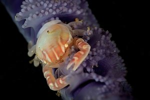 Crab by Fabio Strazzi