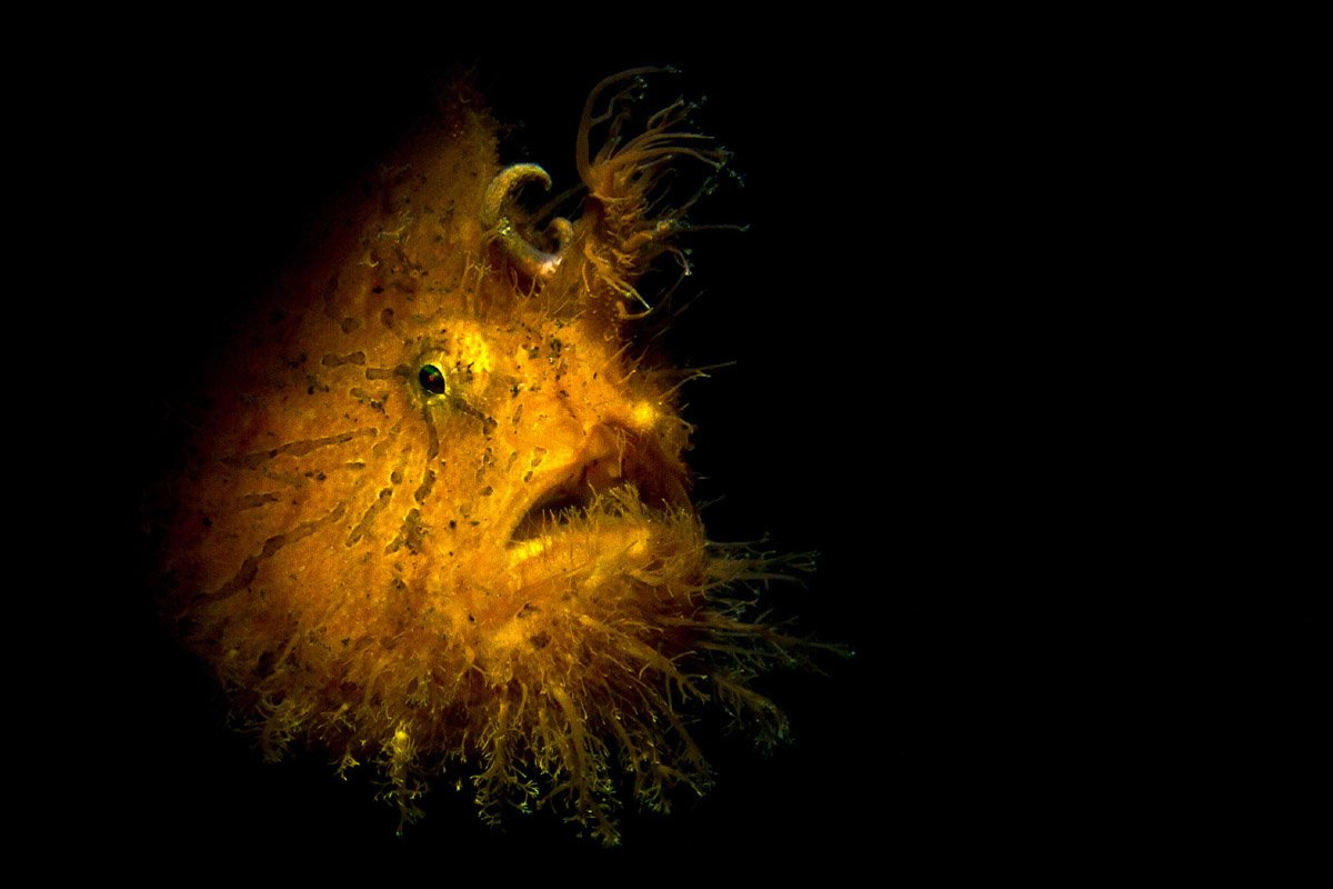 Hairy Frogfish By Michael Gallagher