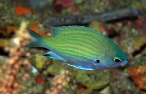 Chromis that is likely a new species